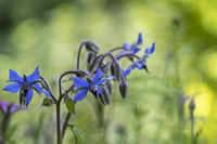 Blueten des Borretsch (Borago officinalis)