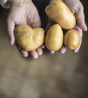hände halten kartoffeln, eine herzförmige kartoffel