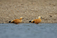 Ruddy shellduck, Tadorna ferruginea, Chambal river, Rajasthan, India