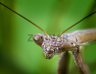 Close Up Of A Praying Mantis Hunting