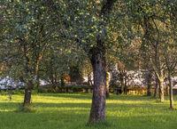 Apfelbaum mit Fruechten