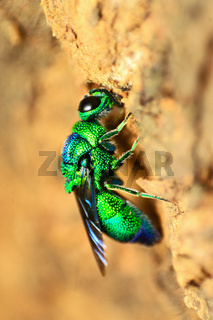 Cuckoo wasp, Chrysididae family, Pune, Maharashtra, India.