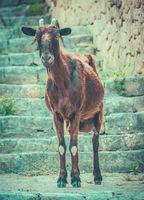 Wild Goat In Mallorca