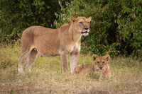 Lioness stands guarding cub in long grass