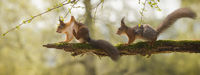 red squirrels are standing on branch with moss