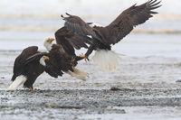 Bald Eagle Vancouver Island Canada