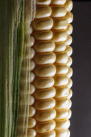 Corn cob macro isolated on black background. Farming and agriculture concept.