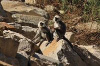 Young grey langur monkeys photographed in Bamboo, Langtang National Park, Nepal.