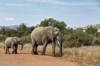 Elephant with baby in South Africa wildlife safari.