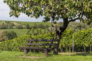 Sitzbank unter einem Quittenbaum