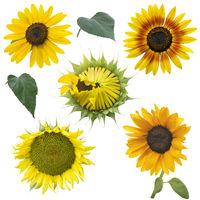 sunflowers set on white background