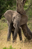 African elephant rubbing its head against tree