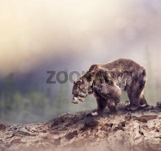 Brown Bear walking on the rocks