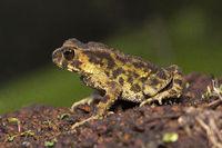 Toad, Bufo sp, Bufonidae, Agumbe ARRSC, Karnataka