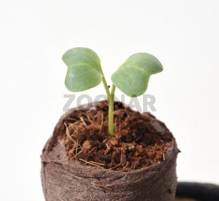 Radieschen, Raphanus, sativus var. sativus, Keimling, Sproessling