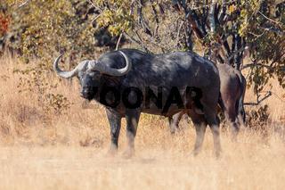 Cape Buffalo at Moremi, Africa safari wildlife