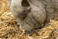 A pig is looking for food in the straw