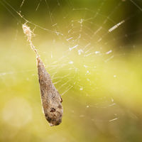 Cocoon of a cross spider in his web