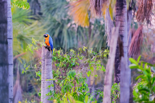 Blue And Yellow Macaw parrot, Ara Ararauna, palm lagoon Lagoa das Araras, Bom Jardim, Nobres, Mato Grosso, Brazil