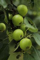 Apfelbaum mit gruenen Aepfel