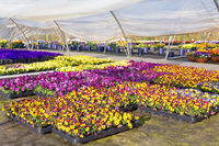 Greenhouse with  colorful blooming violets in Holland