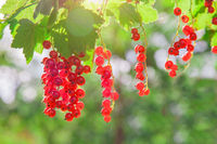 Beautiful Red currant