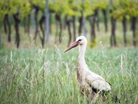 Stork in a meadow