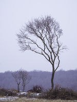 Lonely tree at a snowstorm in Burgenland