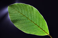 Macro photo of details of a green leaf through the light on a dark background. Natural creative layout. Flat lay