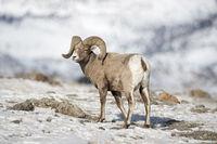 im Winter... Dickhornschaf * Ovis canadensis *