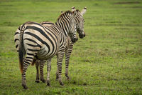 Two plains zebra stand side-by-side on savannah