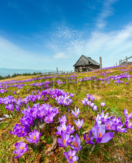 Purple Crocus flowers on spring mountain