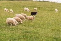 Ein scharzes Schaf inmitten einer weissen Schafherde auf der Weide