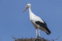 Stork on a big nest