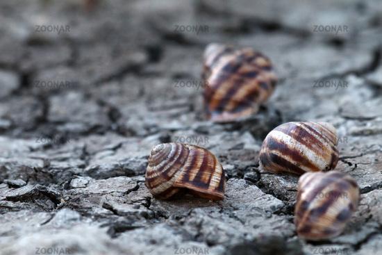 dead grape snails on cracked earth