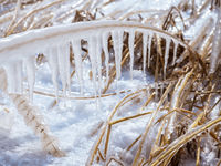 Schilf am Neusiedlersee mit Eis