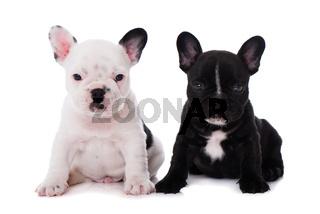 Zwei französische Bulldoggenwelpen