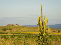 Mullein at a landscape with rock on a hill in Burgenland