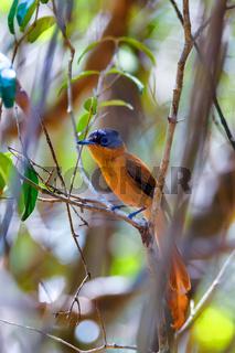 Madagascar bird Paradise-flycatcher, Terpsiphone mutata