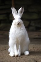 A white rabbit looks into the camera