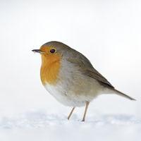 standhaft... Rotkehlchen *Erithacus rubecula* im Schnee
