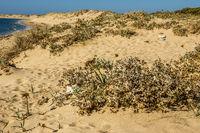 Sand Dune Plants At  At Cape Trafalgar, Los Canos de Meca, Cadiz Province, Spain