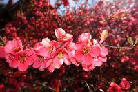 rote Blüten der Zierquitte (Chaenomeles spec.)