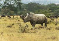 White Rhino,  Ceratotherium simum, Nakuru, Kenya, Africa.