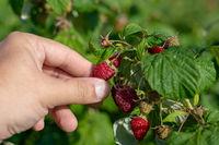 Raspberry picking. Male hands gathering organic raspberries.
