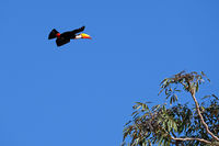 Flying Toco Toucan, Ramphastos Toco, also known as the Common Toucan, Giant Toucan, Pantanal, Mato Grosso do Sul, Brazil