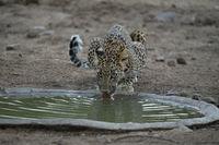 Indian leopard drinking water, Panthera pardus fusca, Jhalana, Rajasthan, India.