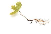 Eichensproessling, Eichenspross, Quercus, Robur