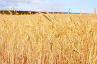 Wheet field harvest crop Estonia