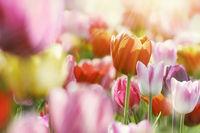 tulpen bunt licht strahlen